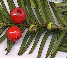 Число видів хвойних рослин