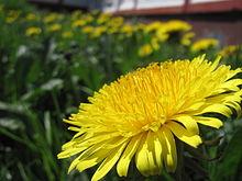 Полевой цветок одуванчик