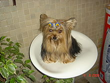 Yorkshire Terrier sitting Lally.jpg