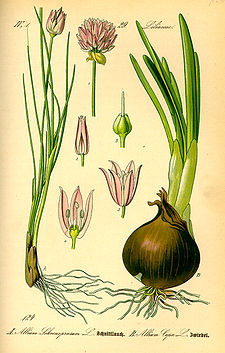Illustration Allium schoenoprasum0.jpg