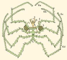 Самый большой морской паук