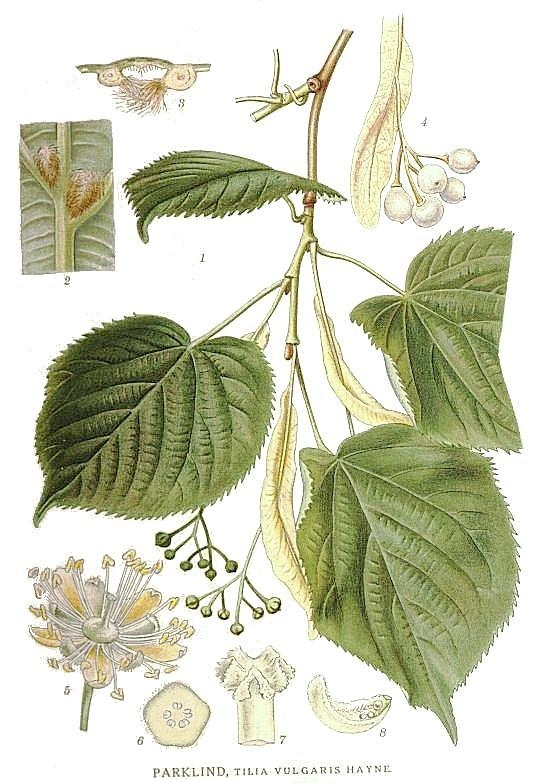 233 Tilia vulgaris.jpg