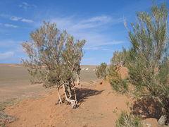 Особенности двугорбого верблюда