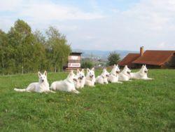 ...белые овчарки, в Германии, Франции, Австрии и других стран больше...