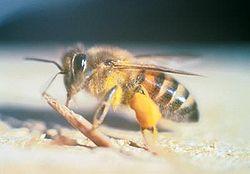 Какие бывают опасные насекомые