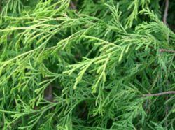 Какое число видов хвойных растений. Сколько в природе видов хвойных растений и как их отличать друг от друга?