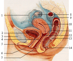 Female reproductive system lateral nolabel.png