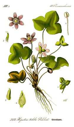 Illustration Hepatica nobilis0 clean.jpg