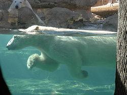 250px-Polar_bear_swimming Медведь белый - это... Что такое Медведь белый?