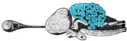 Мозжечок за что отвечает