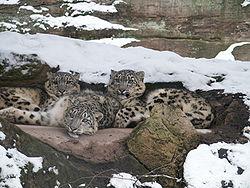 Животное ирбис семейство кошачьих