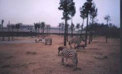Zebra in zoopark.jpg