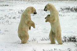 250px-two_polar_bears_sparring Медведь белый - это... Что такое Медведь белый?