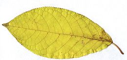 Prunus padus leaf fall colour.jpg
