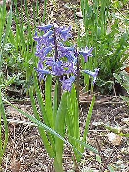 Hyacinthus orientalis0.jpg