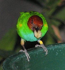 Буланоголовая зелёная танагра