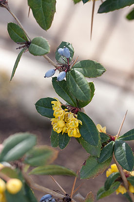 Berberis julianae fleurs fruits2.jpg