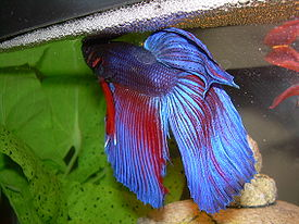 Betta splendens with bubble nest.jpg
