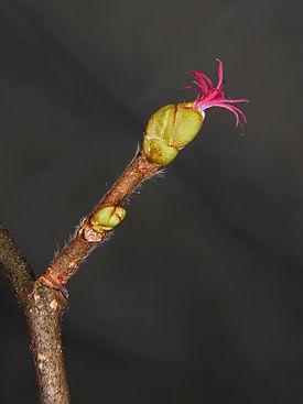 Corylus avellana 0007.JPG