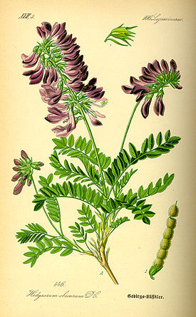 Illustration Hedysarum hedisaroides0.jpg