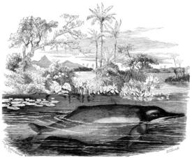 Амазонский дельфин