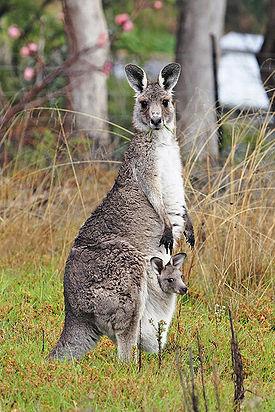 Самка восточного серого кенгуру с детёнышем.