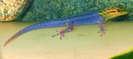 Цепкохвостый геккон