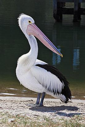 Австралийский очковый пеликан