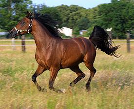 Лошадь домашняя, Equus ferus caballus