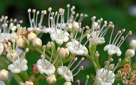 Viburnum opulus20090612 434.jpg