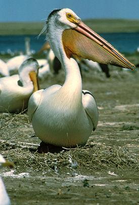 Красноклювый пеликан