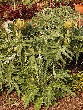 http://dic.academic.ru/pictures/wiki/files/50/275px-artichoke_cynara_cardunculus_plants_2000px.jpg