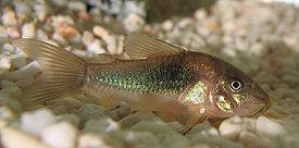 Со́мики (Corydoras) - род рыб семейства Панцирные сомы (Callichthyidae).