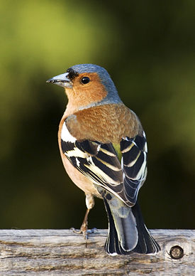 Зяблик-птица перелетная, и как раз сейчас самцы улетают в теплые края...