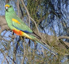 Разноцветный певчий попугай.