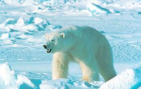 275px-ursus_maritinus Медведь белый - это... Что такое Медведь белый?