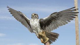 ...в питомник ловчих птиц и охотничьих собак, расположенный в предгорьях...