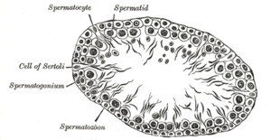 Сперматогенез - это... Что такое Сперматогенез?