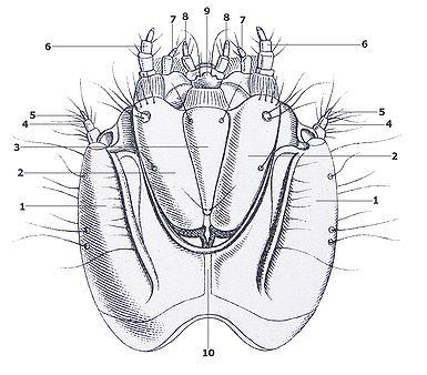 Agrypnus murinus larva head under Reitter with numbering.jpg