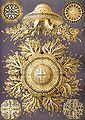 Haeckel Discomedusae 28.jpg