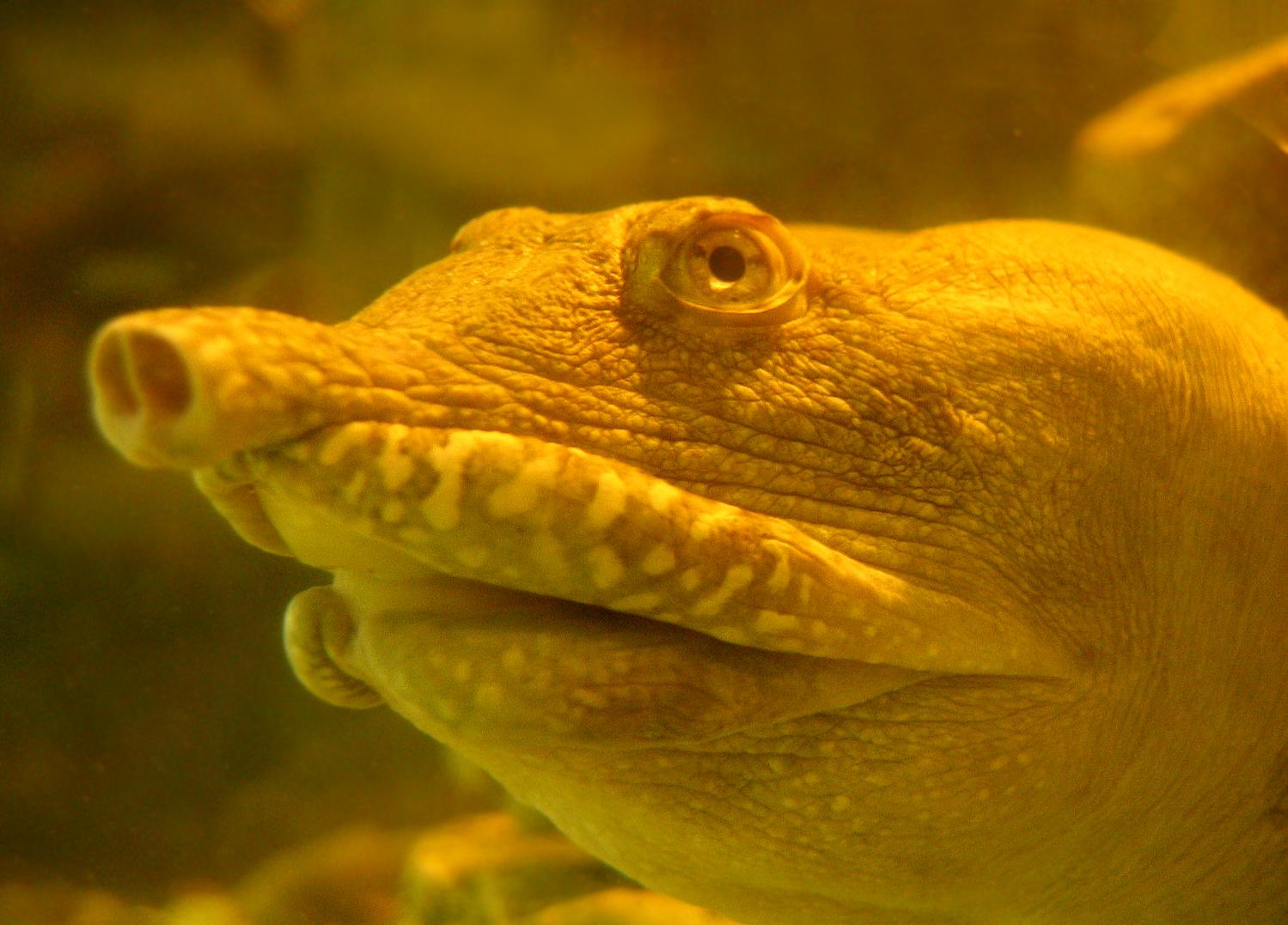 Дальневосточные черепахи - Википедия.