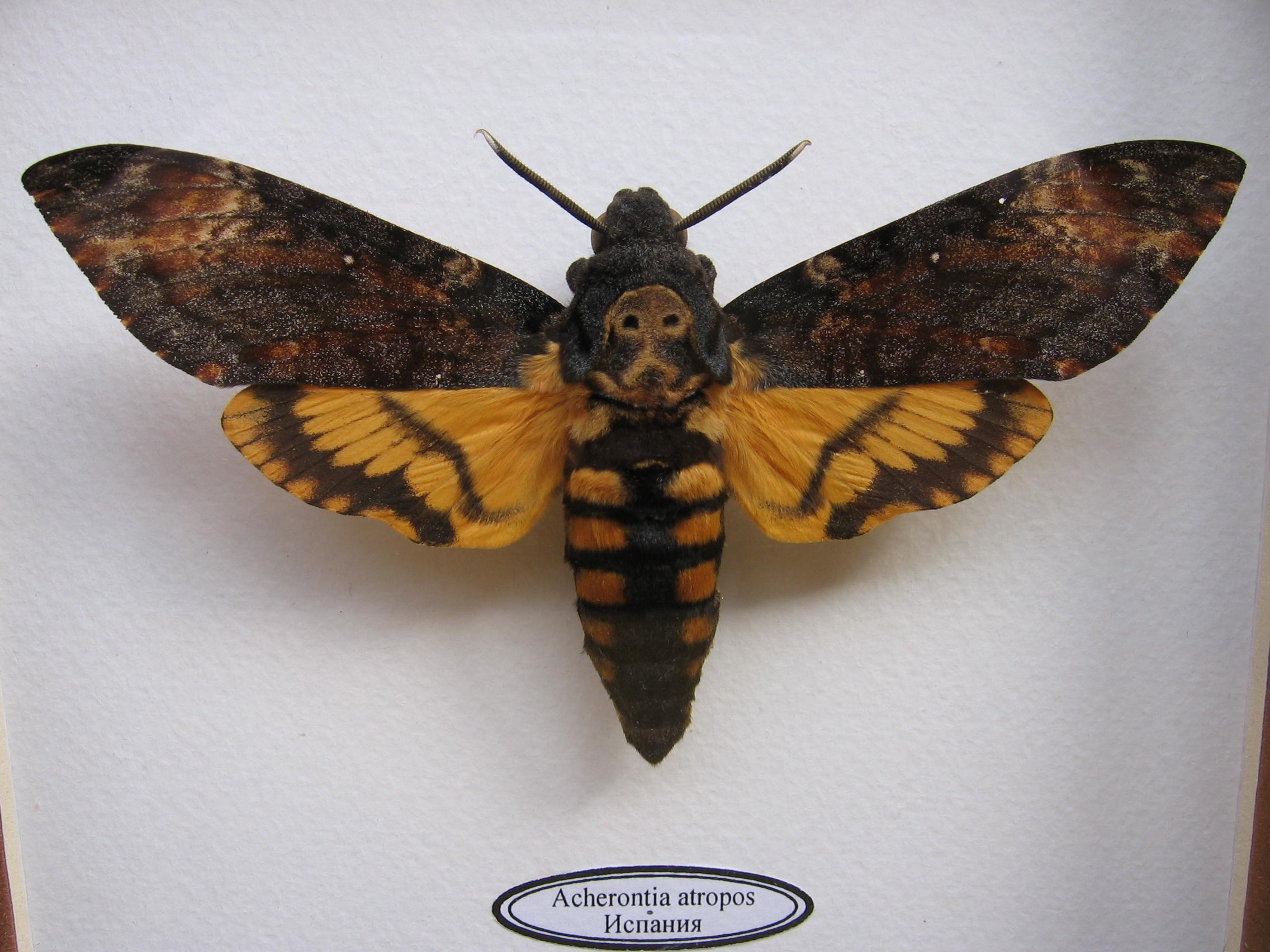 фото бабочки мертвая голова