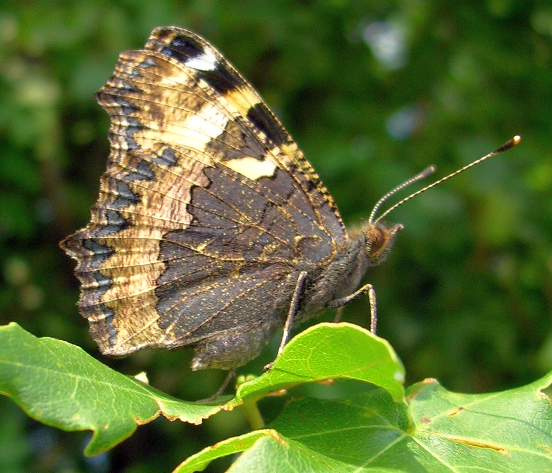 бабочка фото сбоку