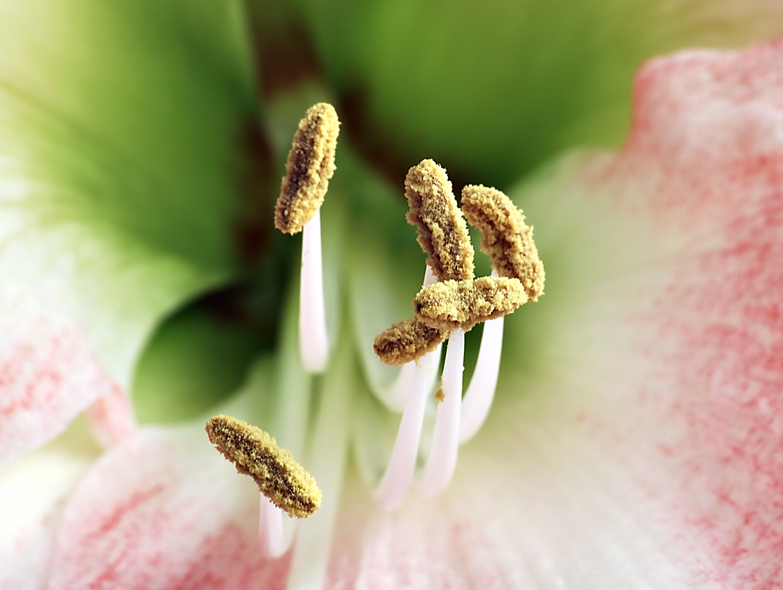 Пыльник это цветок