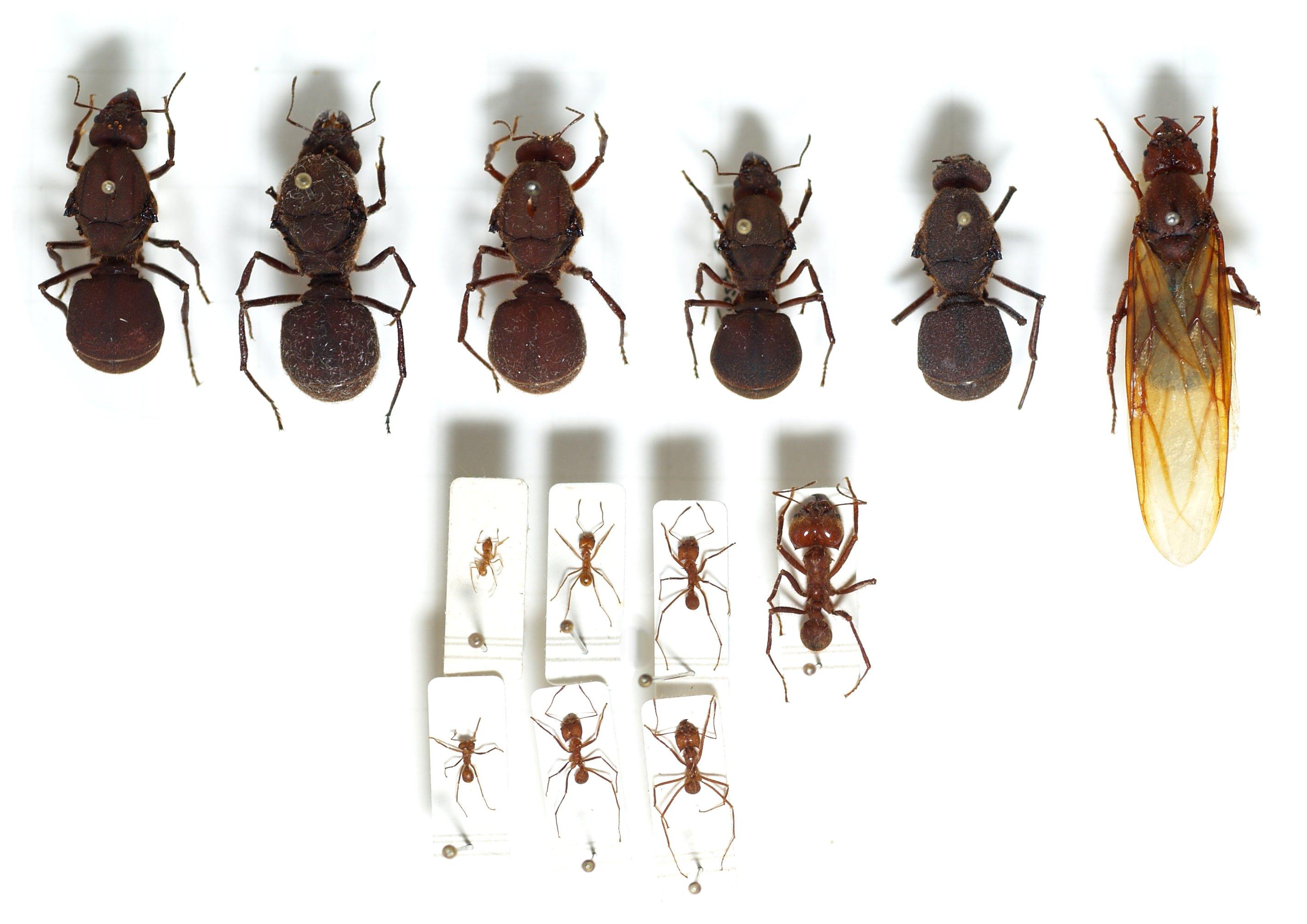Матки и рабочие муравьи Atta cephalotes.