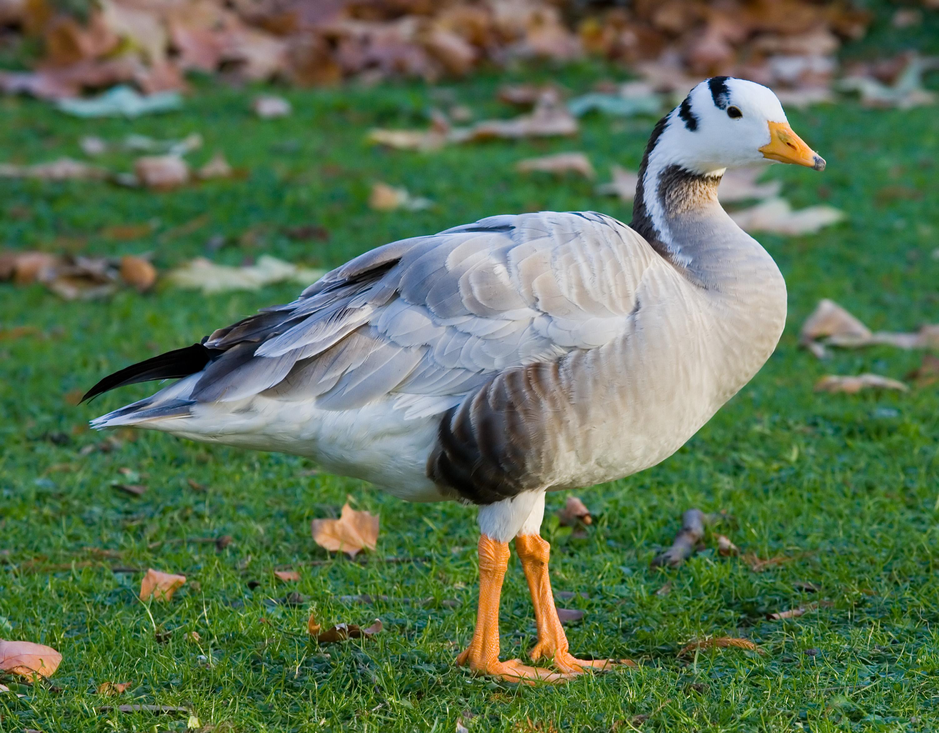 ФОТО. spravka.nowyny.eu.  Горные гуси - это самые высоко летающие птицы.
