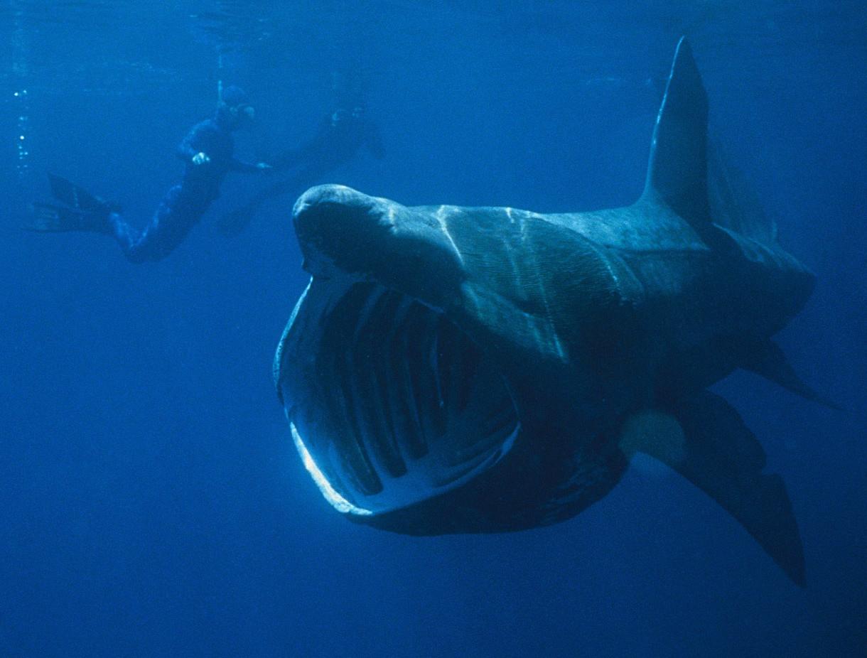 Китовая акула случаи нападения на людей.