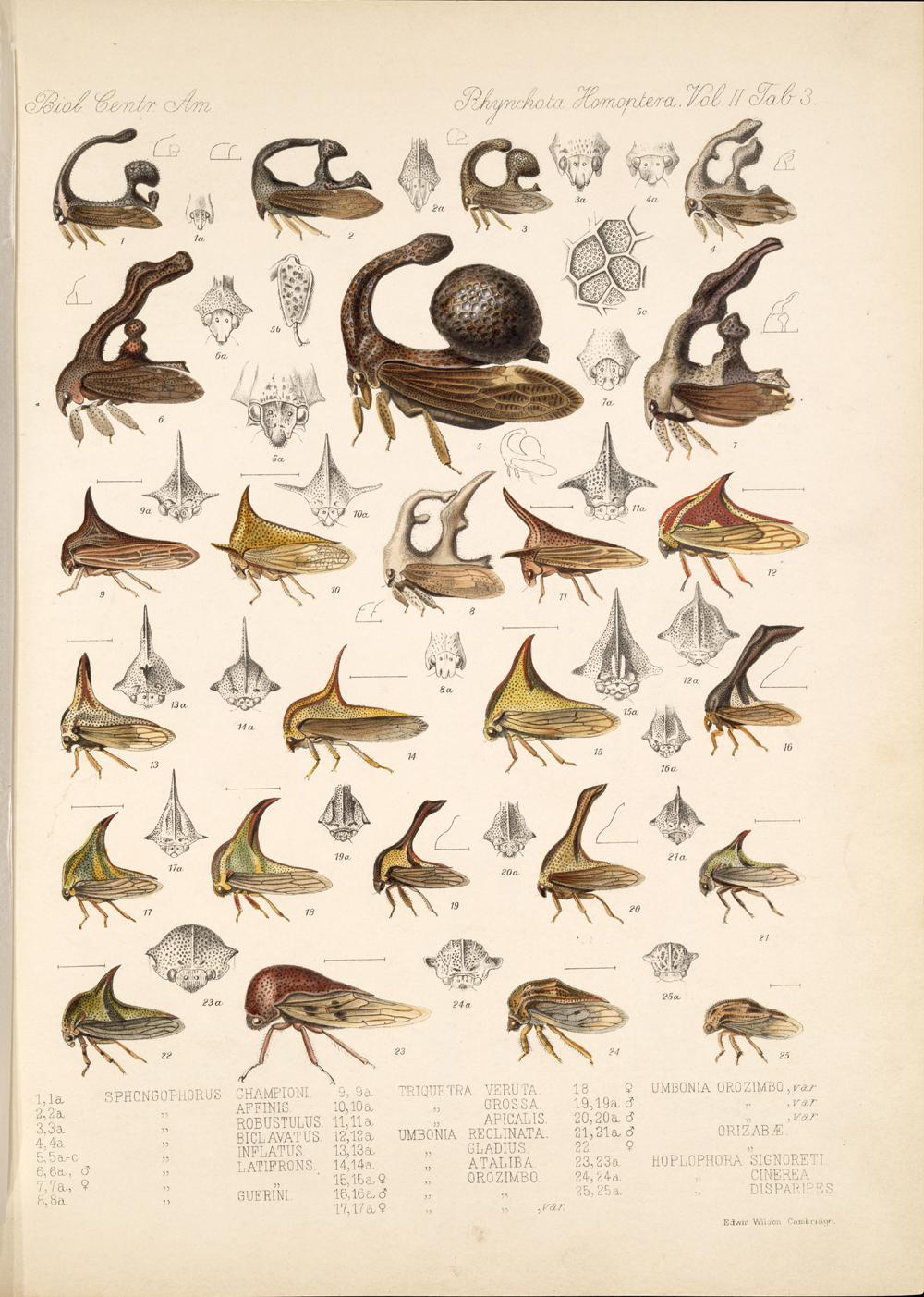 Горбатки полужесткокрылые