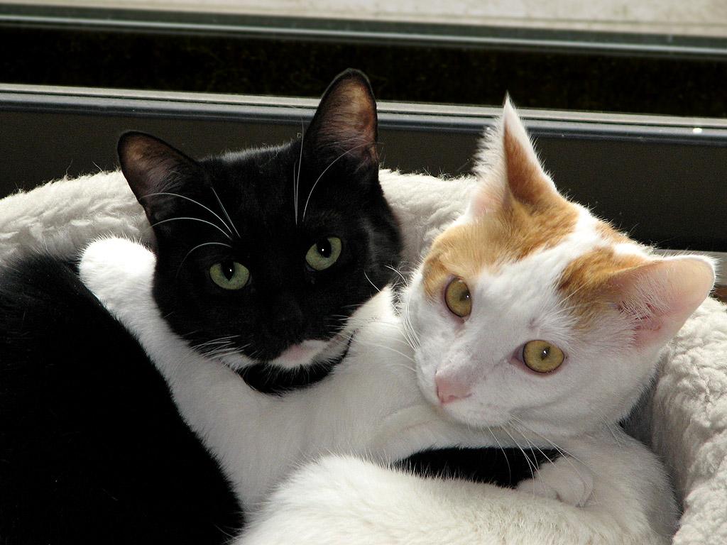 белый и черный кот