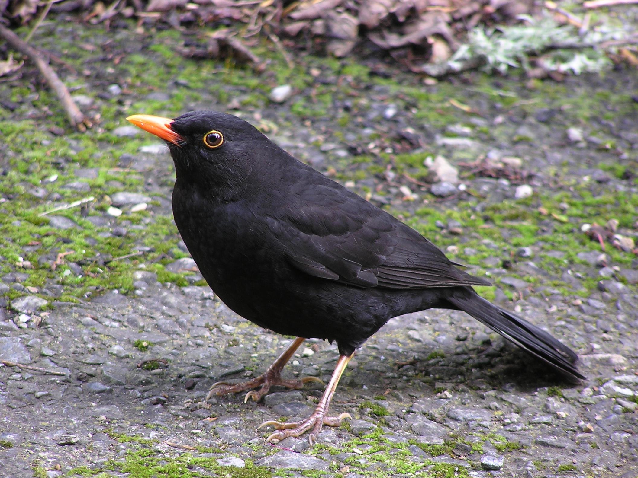 Черный дрозд замечательная певчая птица.  Живут в Европе, Северной Африке.